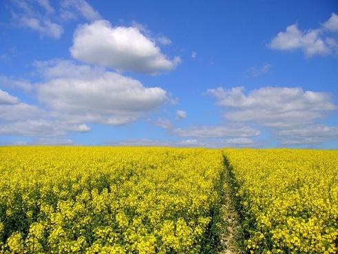 yellow field oilseed rape