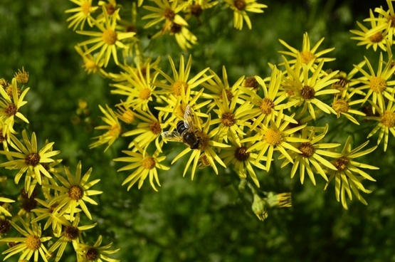 yellow flowers bee