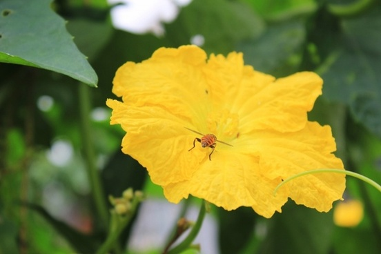 yellow flowers luffa flowers bee