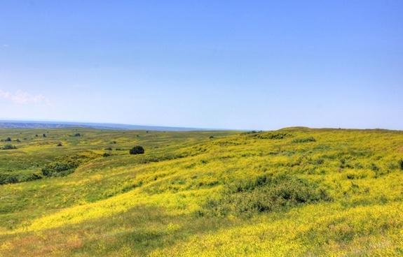 yellow flowers on the grassland at badlands national park south dakota