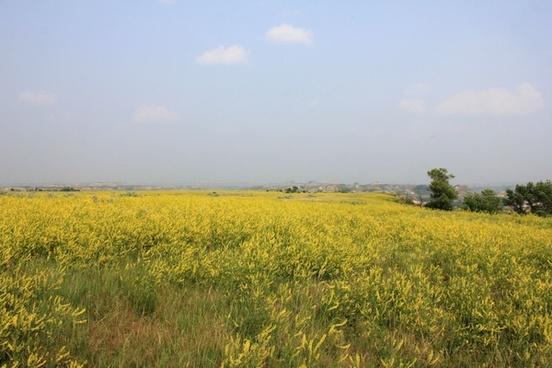yellow flowers on the open prairie at theodore roosevelt national park north dakota