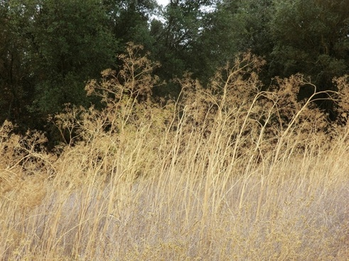 yellow grass 424
