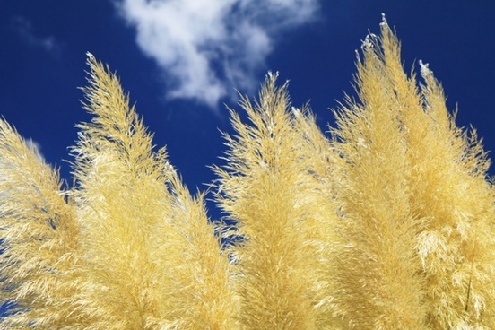 yellow grass and sky