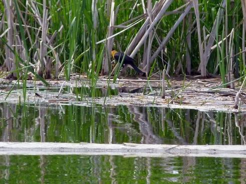 yellow headed blackbird marshland swamp