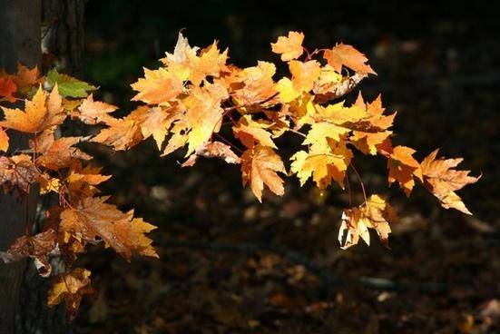 yellow leaves maple autumn