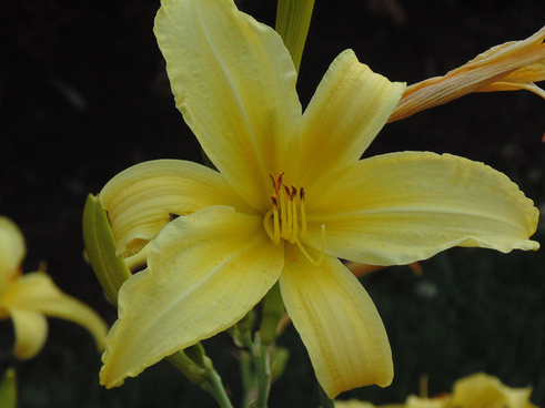 yellow lily in our neighbours yard