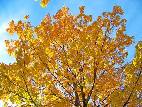 yellow maple tree branches