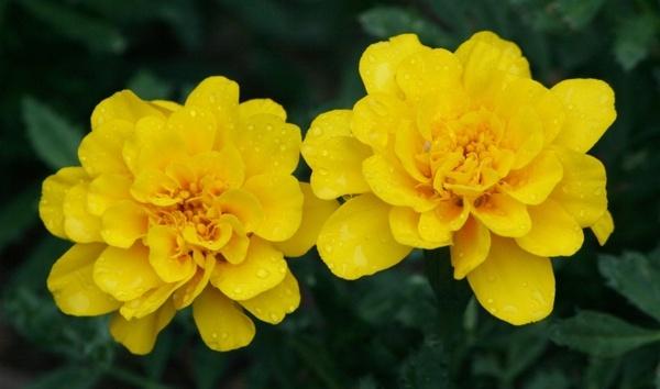 yellow marigolds flowers summer