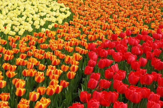 yellow orange and red tulips
