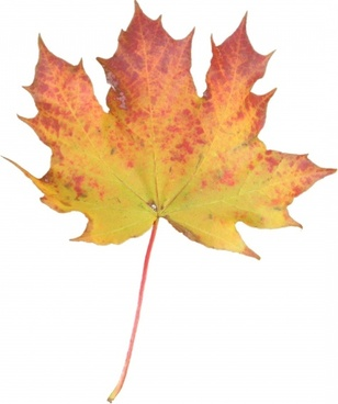 yellow orange maple leaf
