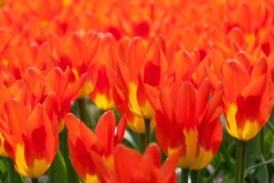 yellow red tulips