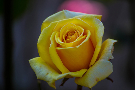 Yellow Rose Flowers Images Free Stock Photos Download 13777 Free