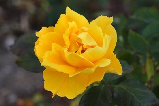 yellow rose bloom