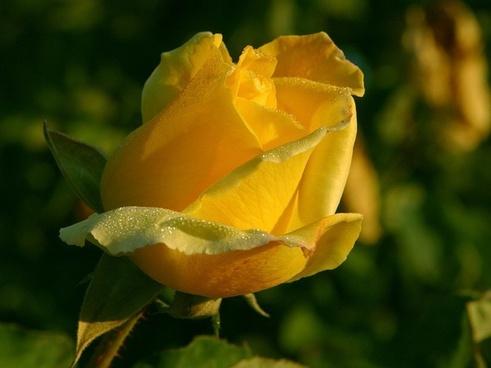 yellow rose flower nature