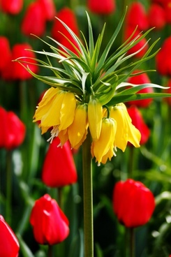 yellow tulip with red tulips