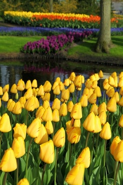 yellow tulips in park
