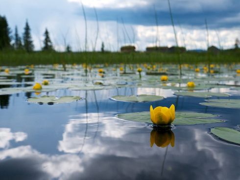 yellow water lilies everywhere