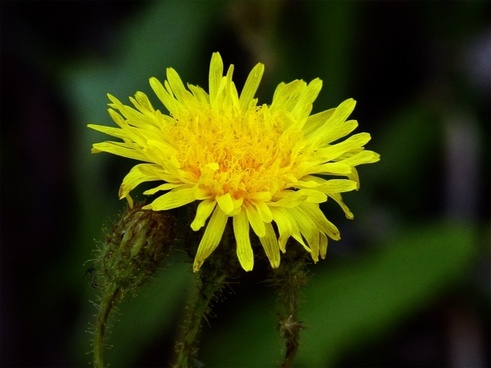 yellow wild flower nature