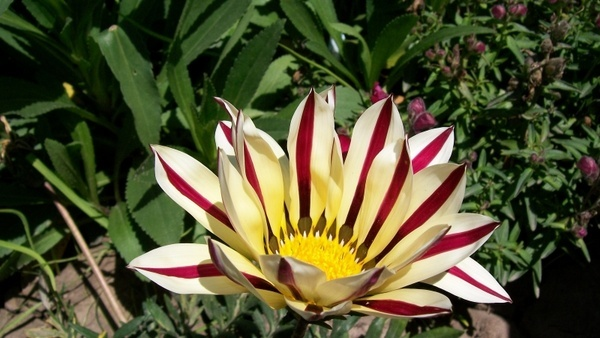 yellow yellow rose stripes striped