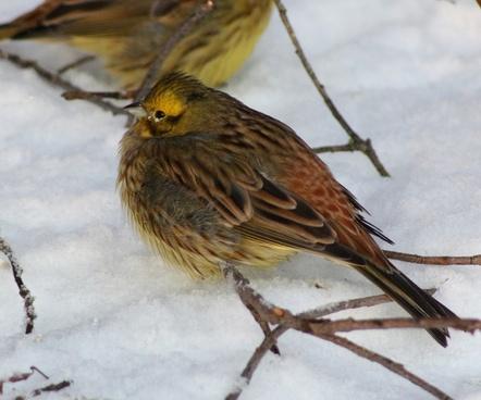 yellowhammer bird nature