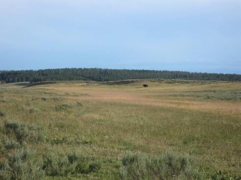yellowstone national park wyoming animal
