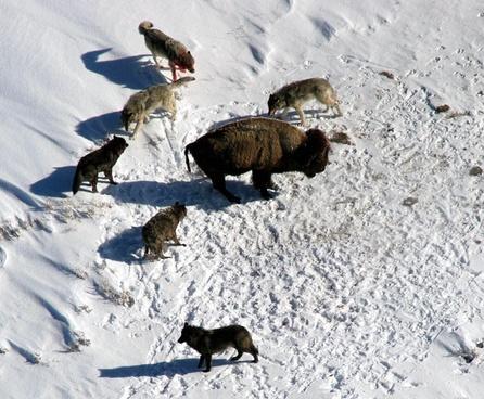 yellowstone national park wyoming wolf