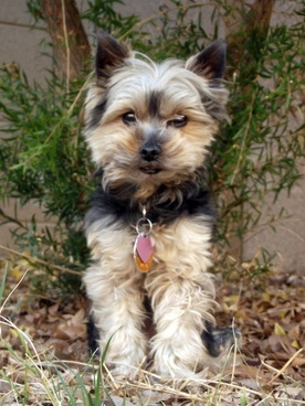 yorkie dog in yard 2