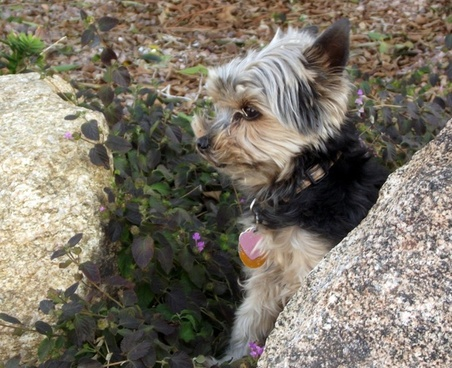 yorkie dog in yard 3