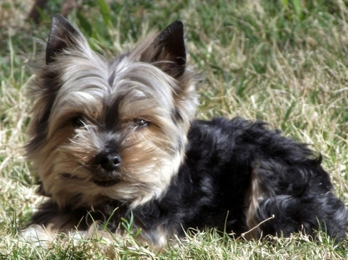 yorkie dog in yard 4