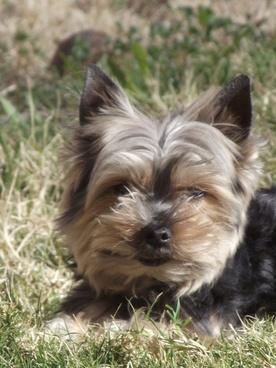 yorkie dog in yard 5