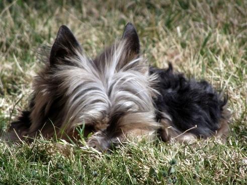 yorkie dog in yard 6