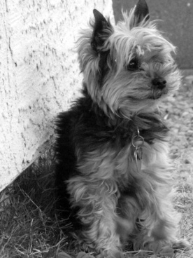 yorkie dog in yard 9