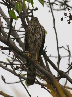 young hawk in a tree