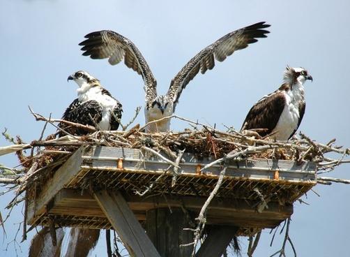 young ospreys hawks