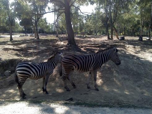 zebra animal