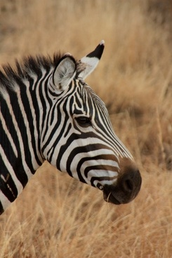 zebra animal family