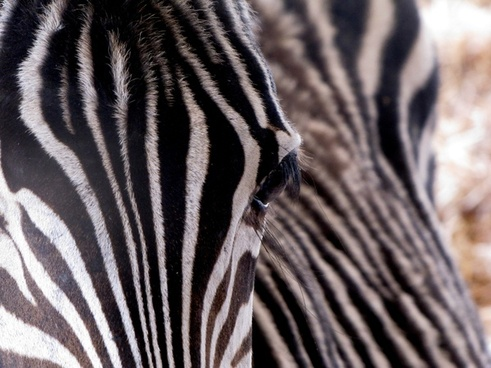 zebra animal stripes