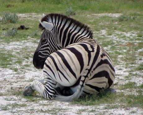 zebra black and white striped africa