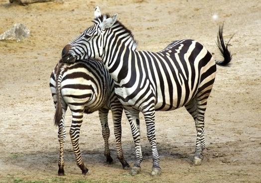 zebra black zebra stripes