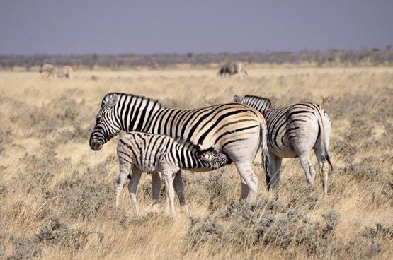 zebra foal reborn
