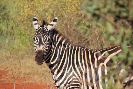 zebra kenya mammal
