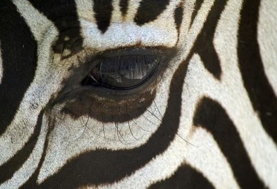 zebra macro black