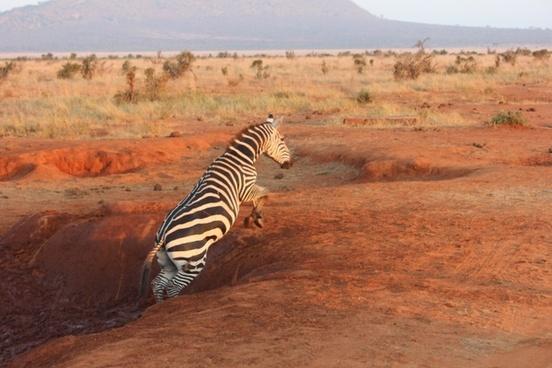 zebra safari tsavo