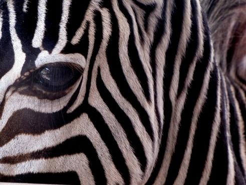 zebra stripes animal black