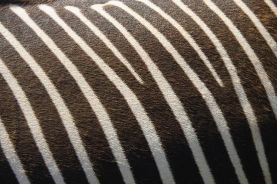 zebra texture nature