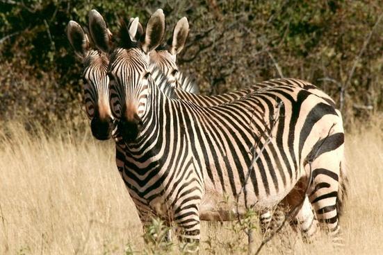 zebra wild animal namibia
