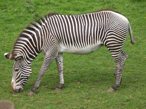 zebra zoo black and white striped