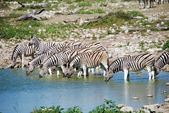 zebras potions africa