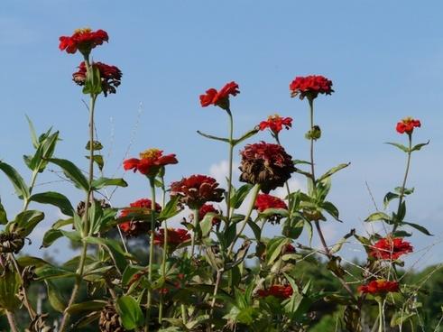 zinnia flowers red