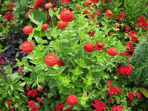 zinnia geranium flowers